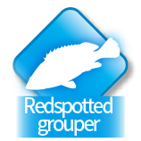 Redspotted grouper